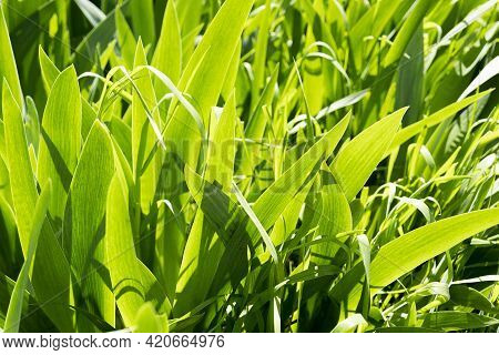 Leaves Of Iris Flower Background. Fresh Green Leaves Of Iris In The Morning Light - Natural Floral B