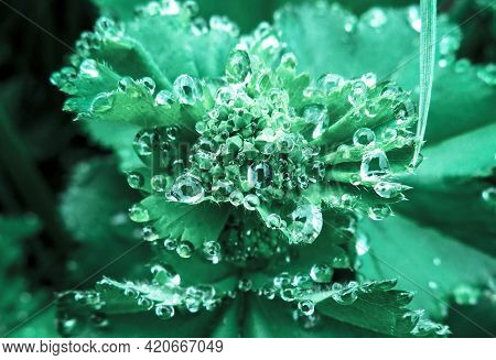 Water Drops On The Undiscovered Flowers Of The  Lady's Mantle (alchemilla Vulgaris) Plant. Natural W