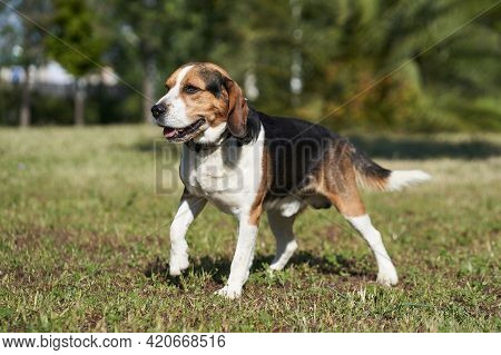 Dog Beagle Breed Standing. Group 6 Fci. Hound