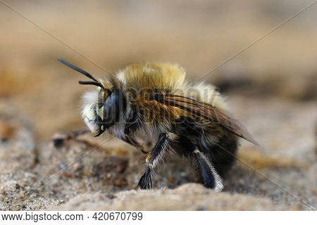 Closeup Of A Male Of The Hairy-footed Flower Bee , Anthophora Plumipes