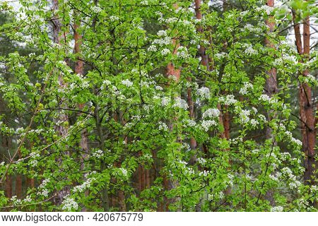 Fragment Of The Wild Growing Pear Tree With Flowers And Fresh Young Leaves In Forest On A Blurred Ba