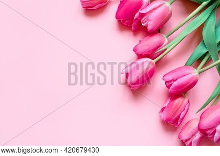 Fresh Tulip Flowers On A Pink Background.