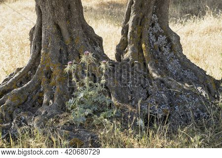 A Thorny Bush Growing Between The Roots Of An Olive Tree, In A Dry Fallow Field, In Israeli Summer.