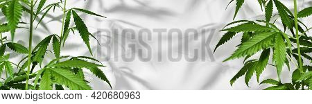 Banner With Growing Organic Cannabis Plants. Beautiful Potted Marijuana Plant On White Background Wi