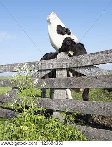 Young Black Cow In Meadow Behind Wooden Gate And Spring Flowers Under Blue Sky In Holland Has An Itc