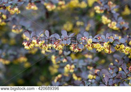 Blooming Of Barberry. Beautiful Yellow Small Flowers Of Berberis Thunbergii Atropurpurea On Branches