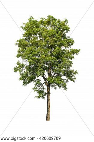 Single Green Leaves Tree Isolated On White Background, Die Cut With Clipping Path