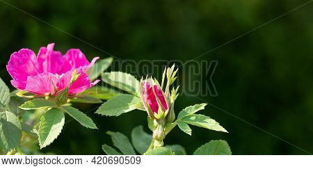 Banner With Sunlit Pink Rosehip Flowers On Dark Green Backdrop With Copy Space For Text.