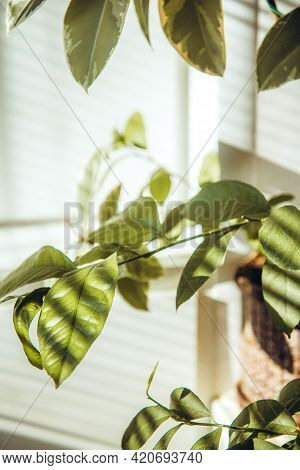 Modern Houseplant In Pot. Indoor Evergreen Potted Plant On A Light Background. Shadow Of Focus On Th