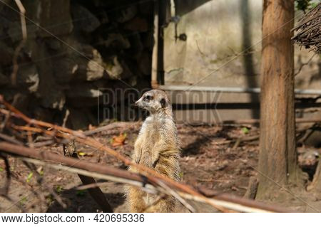 The Meerkat Stands On Its Hind Legs