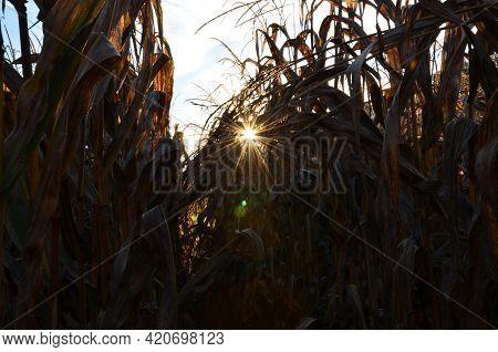 Morning Mood In The Cornfield. The Sun Shines In The Corn Field In Bauma Zurich Oberland. Fantastic