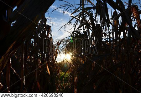 Cornfield In Bauma Zurich Oberland. The Sun Shines Through The Cornfield Early In The Morning.blue S