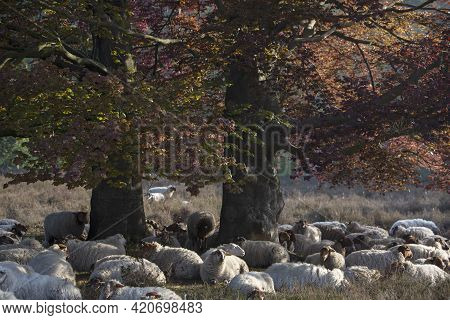 Flock Of Sheep Rests In Shadow Of Large Beech Tree With Green And Red Leaves