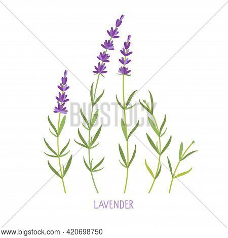 Lavender Plant. Vector Flat Grass Lavender Illustration. Lavender Flowers Collection Isolated. For L