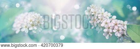Spring Floral Background - White Inflorescences Of Bird Cherry (prunus Padus). Elegant Image Of Spri