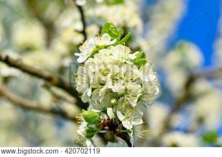 Plum Tree With White Flowers In May