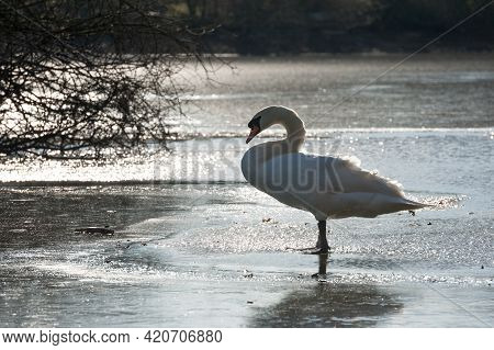 Silhouette Of A White Swan Standing On A Frozen Lake In Low Winter Sunlight