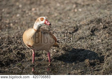 Closeup Of An Egyptian Goose At The Waters Edge