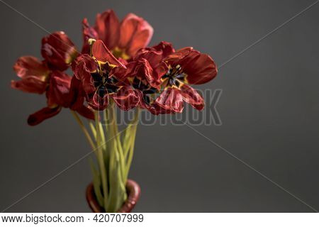 Flabby Red Tulips On A Black Background In A Vase. Free Space For Text. An Idea Of The Past Holiday