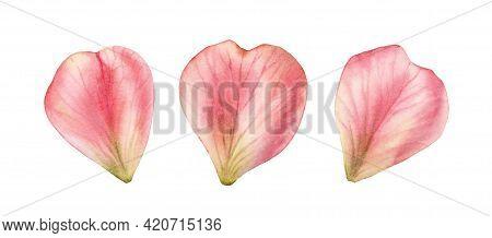 Watercolor Petals Set. Three Rose Flower Petals In A Shape Of Heart. Realistic Hand Drawn Illustrati