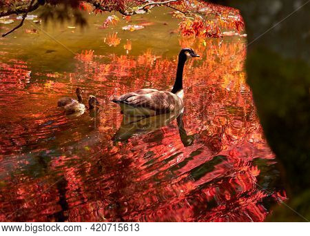 Red Maple Canada Goose And Goslings. A Canada Goose Protecting Goslings While Swimming In A Pond.