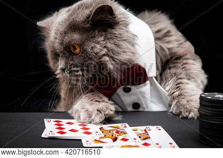 A Cat In A White Shirt And Bow Tie Plays Poker. He Has A Royal Flush.