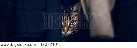 Funny Scared Tabby Pet Cat Hiding In Clothes At Closet. Cute Surprised Striped Domestic Animal With