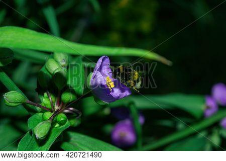Bumblebee (latin: Bombus) Pollinates Purple Flowers Tradescantia (latin: Tradescantia Occidentalis).