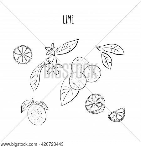 Vector Abstract Set Illustration Of A Lime. An Isolated Set For Your Design Of Postcard, Menu, Banne