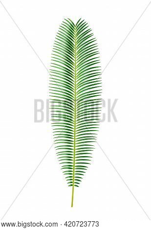 Exotic Foliage And Tropical Plants, Isolated Sago Palm Tree Leaves. Jungle Or Rainforest Vegetation,