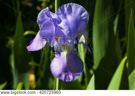 Northern Blue Flag Flower Growing Amongst The Grass. Purple Iris Flower A Green Background.