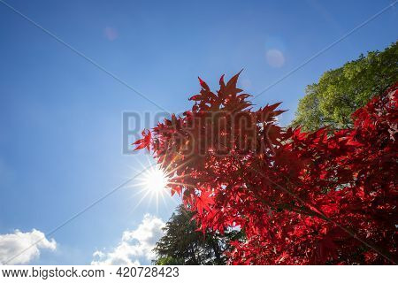 Branch Of Japanese Red Maple On A Background Of Blue Sky With The Rays Of The Sun