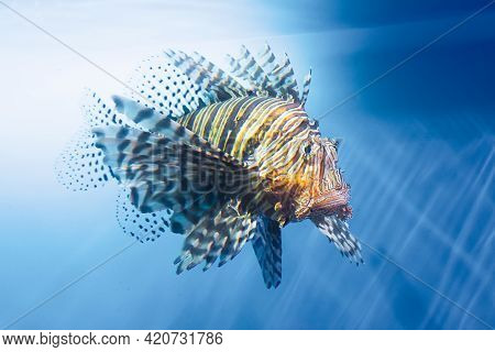 Lionfish Swims Underwater In Warm Tropical Seas