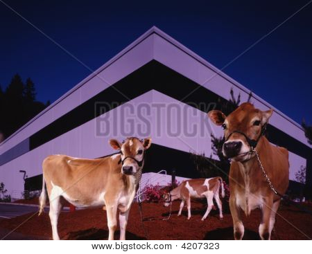 Cows In Front Of Modern Building
