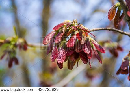 Big Bunch Of Red And Pink Winged Maple Seeds In Background Of Blue Sky In Sunlight In Springtime. Re