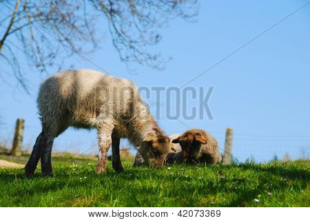 Lambs Lying On The Grass