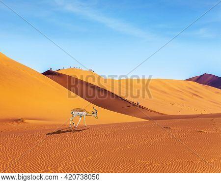 Impala black-headed antelope. Majestic orange dunes, dry lake Sussussflay. Grand trip to Namibia, Namib Naukluft desert. The concept of exotic, extreme and photo tourism