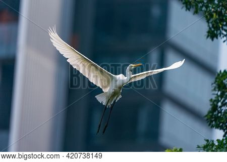 great egret fishing in the shallow lagoon beside building