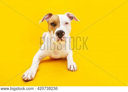 Portrait American Staffordshire Dog Lying Down. Isolated On Yellow Background