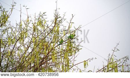 Two Parrots Sitting On The Branches Of Acacia Tree. Parrots Eating Acacia Hanging Pods. Round Pods O