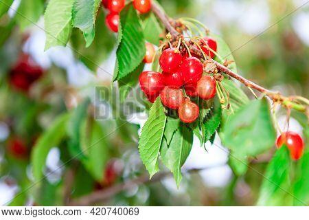 Cherries Prunus Avium Growing On The Branch