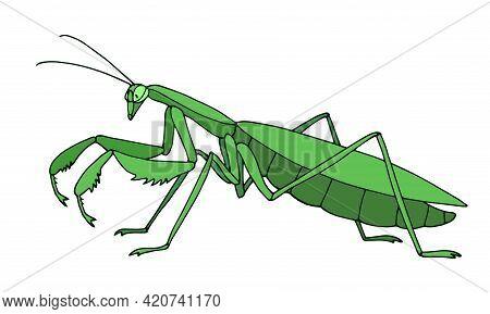 Green Mantis In Profile, Invertebrate Insect, Voracious Predator, Color Vector Illustration With Con