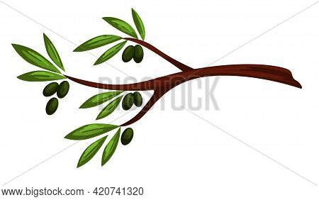 Olive Tree Branch With Berries And Leaves Vector