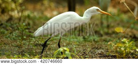 Nature Wildlife Image Of Great Egret Bird Walk On Paddy Field. Egrets That Live Freely In Nature.