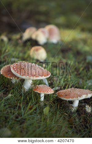 Red Spotted Mushrooms In The Grass