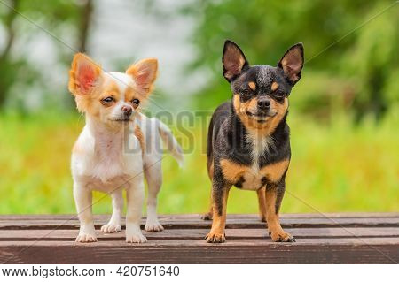 Two Little Chihuahua Dogs On Bench. Cute Domestic Pets Outdoors. Puppy And Adult Dog Black And White
