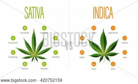 Sativa Vs Indica, White Information Poster With Difference Of Indica And Sativa