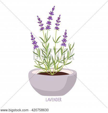 Pot Lavender Bush. Lavender Plant Isolated. Vector Flat Grass Lavender Illustration. For Label, Pack