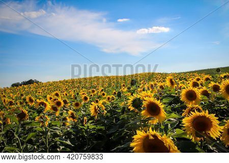 A Sunny Field Full Of Blooming Sunflowers.