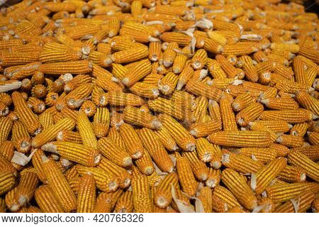 Organic Corn Cobs And Maize Drying In The Sun On A Rural Farm Field In Myanmar